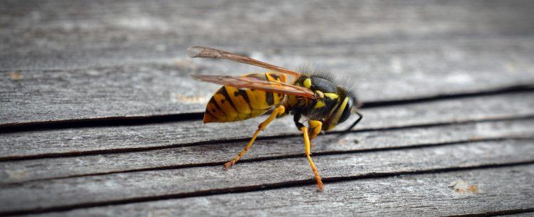 tips wespen,tips tegen wespen,wespen tips,bang voor wespen,wespen verjagen,hoe houd je wespen uit de buurt, wat doen tegen wespen,gestoken door wesp,tips beet wesp,tips steek wesp,kind gestoken door wesp,wat doen steek wesp